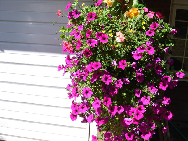 Bright Purple Hanging Baskets - Garden Landscaper Surrey